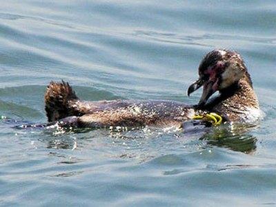 Для сбежавшего пингвина из аквариума Японии придумают кличку