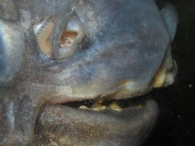 Субтропические рыбы и медузы появились в Днепре